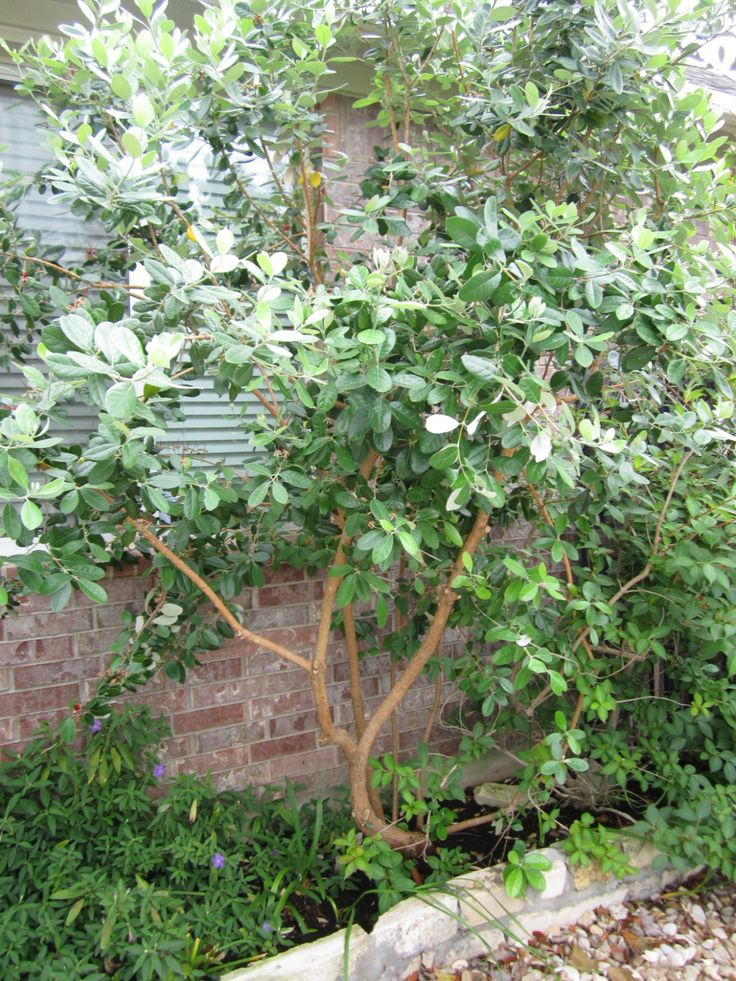 Pineapple Guava is a great example of a huge bush that looks awesome as a tree. With its beautiful bark, interesting foliage, exquisite flowers and fruit, this is a really special tree in the landscape.