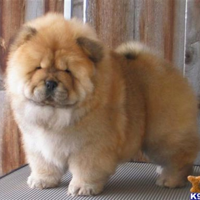 17 Best images about I love Chow Chows on Pinterest | Chow chow ...