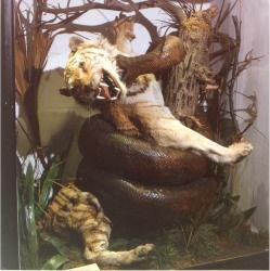 Bullocks tiger - Rossendale  Museum in Lancashire, England.