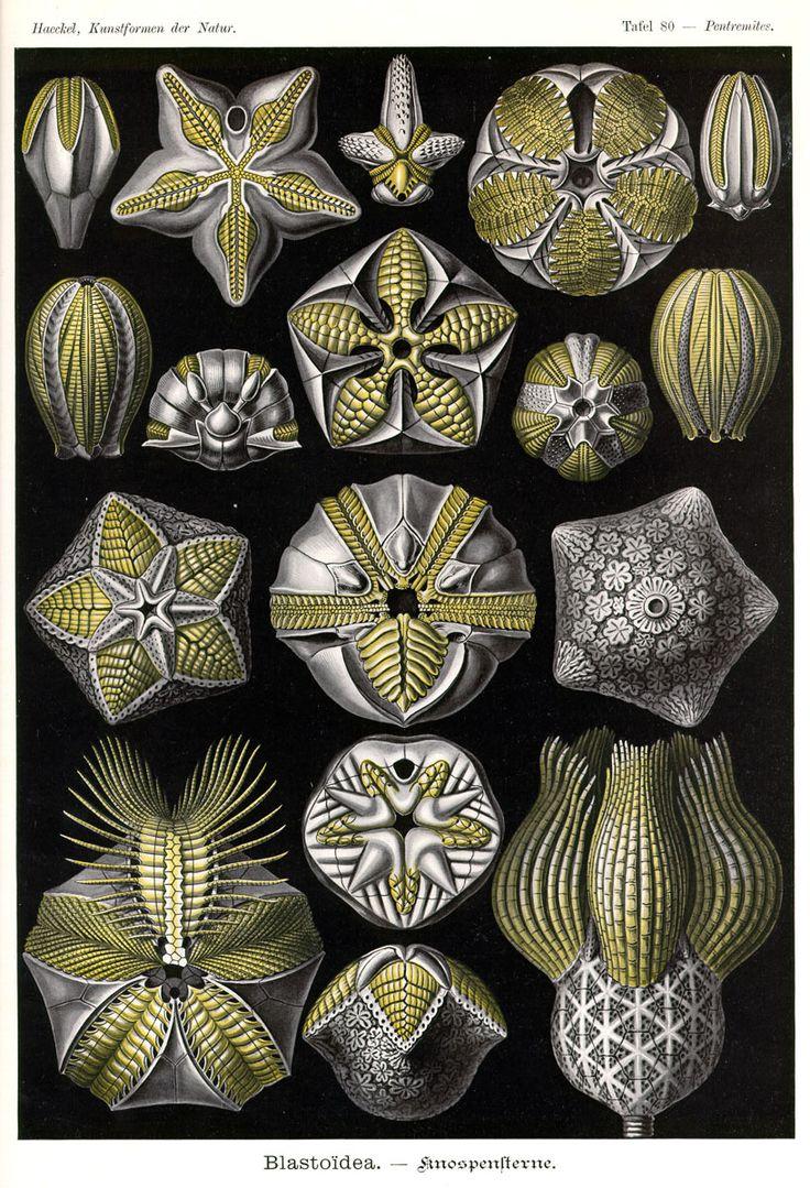 Blastoidea by Ernst Haeckel; Kunstformen der Natur, 1900