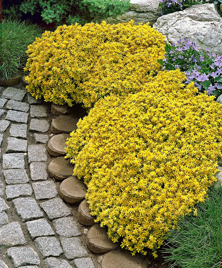 Yellow Stonecrop (Sedum Acre) forms a dense carpet of fleshly, green leaves and countless star-shaped yellow flowerets. This evergreen plant is a ground cover that holds its leaves in winter. Border of tree stumps!!!