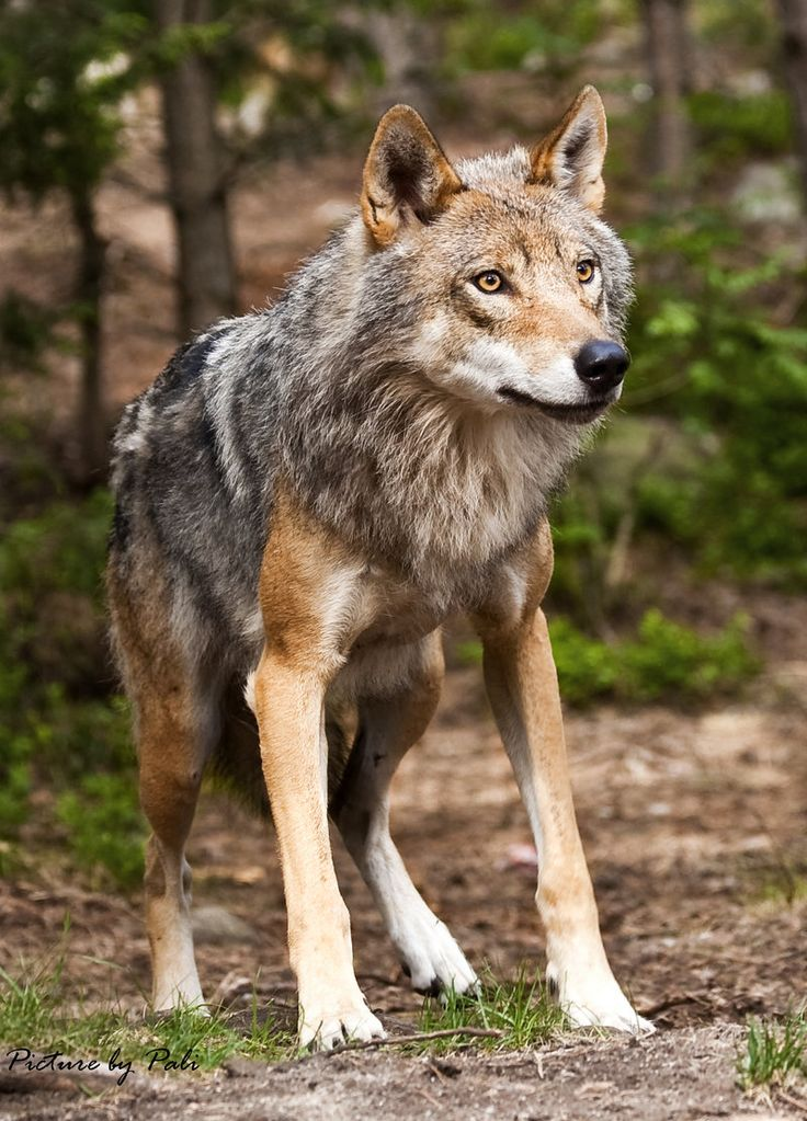 The Gray Wolf is one of the world's most well researched animals, with probably more books written about it than any other wildlife species. It has a long history of association with humans, having been despised and hunted in most agricultural communities due to its attacks on livestock, while conversely being respected by some Native American tribes.