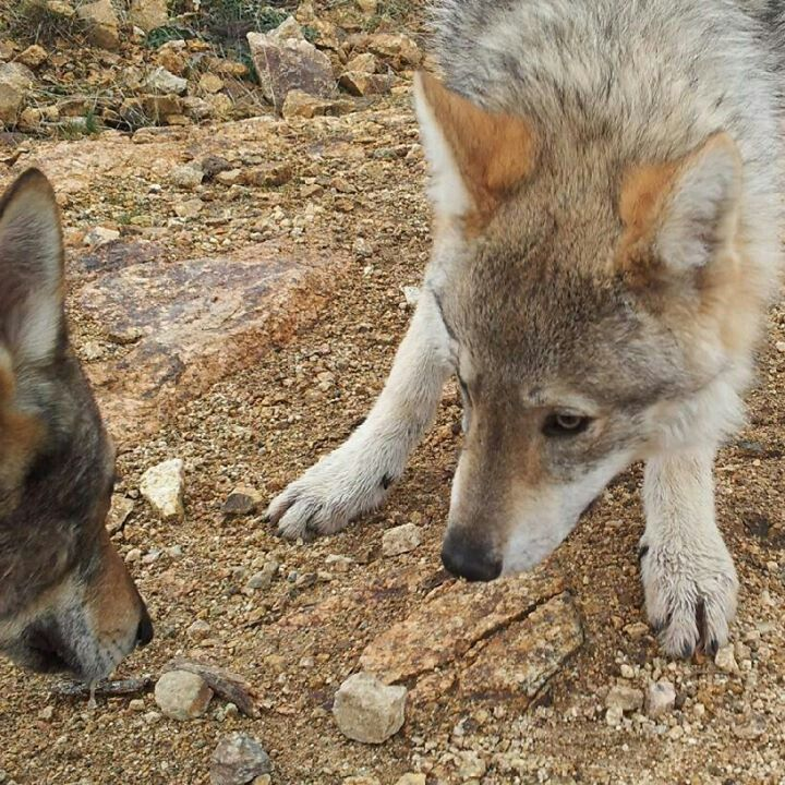 1000+ Images About Wolf Dogs And Wolf Like Dogs On