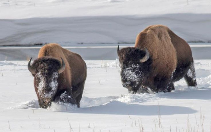 Yellowstone National Park Will Slaughter 1,300 Genetically Unique Wild Bison – Native Americans