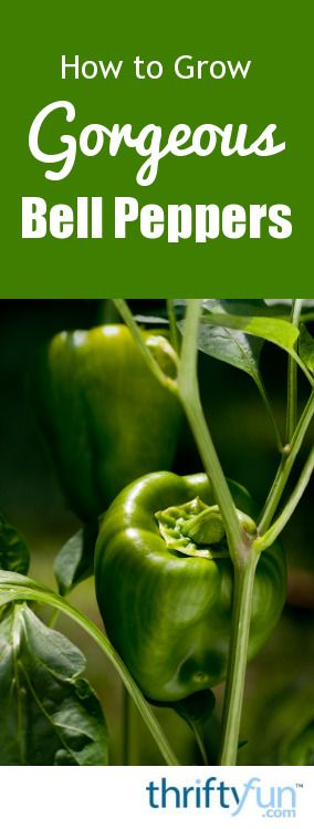 25 Best Ideas About Growing Bell Peppers On Pinterest