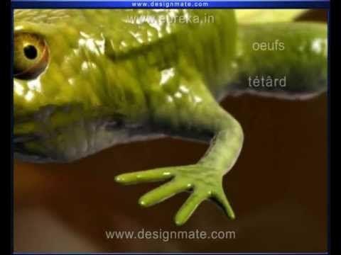 Cycle de vie de la grenouille.  Bien fait!