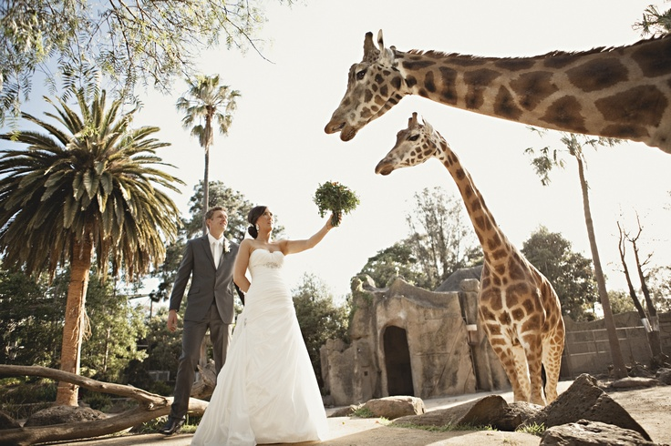 Melbourne Zoo weddings with the giraffe! Photo courtesy: Justin Hill