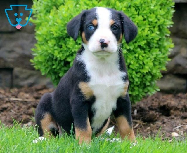 Domino Greater Swiss Mountain Dog Puppy For Sale Keystone