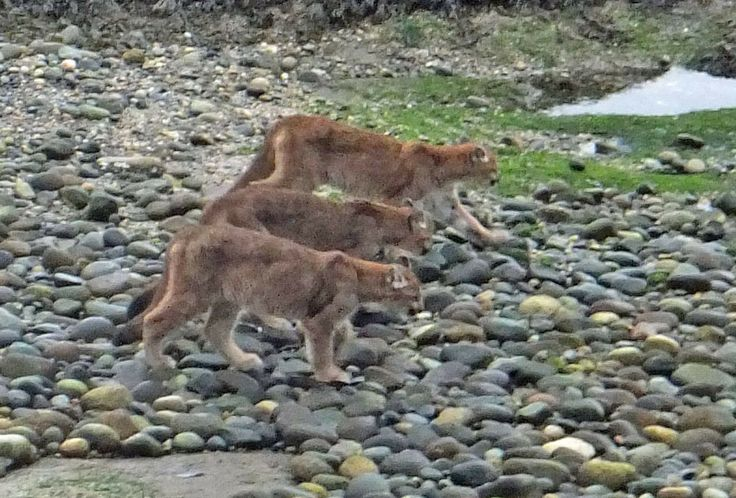 Three cougars seen in Roberts Creek on the Sunshine Coast. Photo credit: Greg Carter