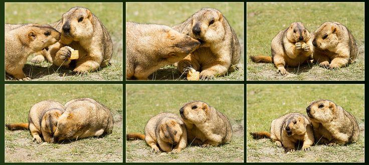 """Hymalayan marmots  funny story"" by Oleg Ivanov on 500px"