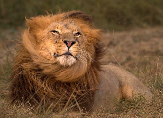 1000 Images About Lion On Pinterest A Lion Lion Cub