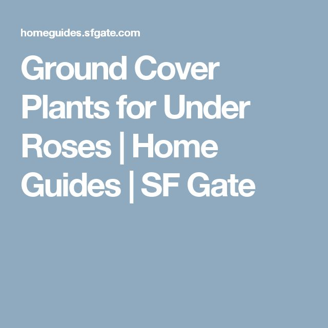 Ground Cover Plants for Under Roses | Home Guides | SF Gate