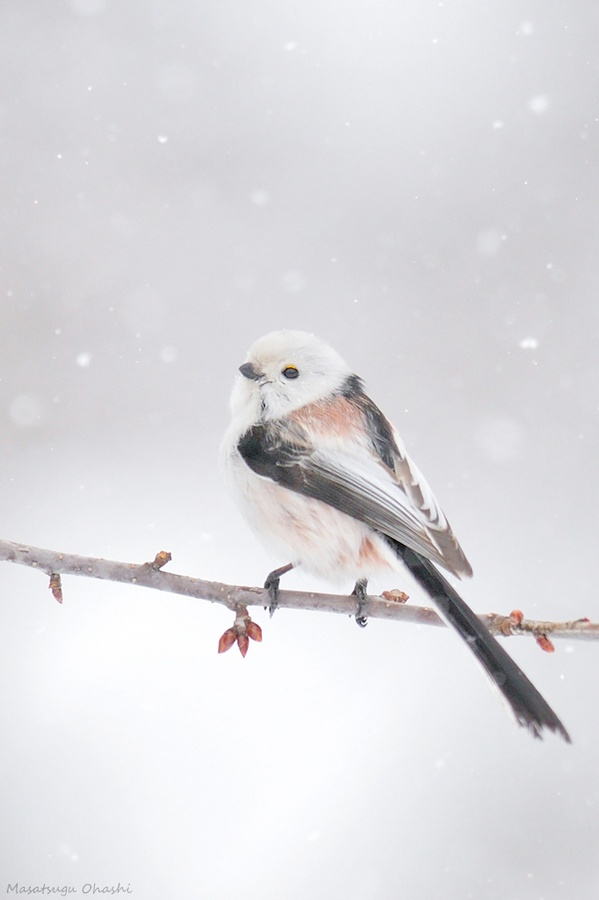 .long tailed tit - getting these too