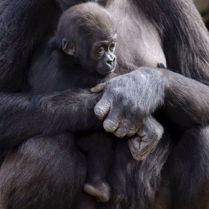 There's no safer place than mum's arms. Love this snap of gorilla Mbeli holding tight to baby Mjukuu by Ben Mitchell