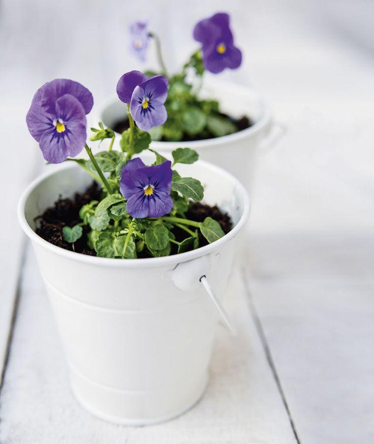 01-como-cultivar-violetas