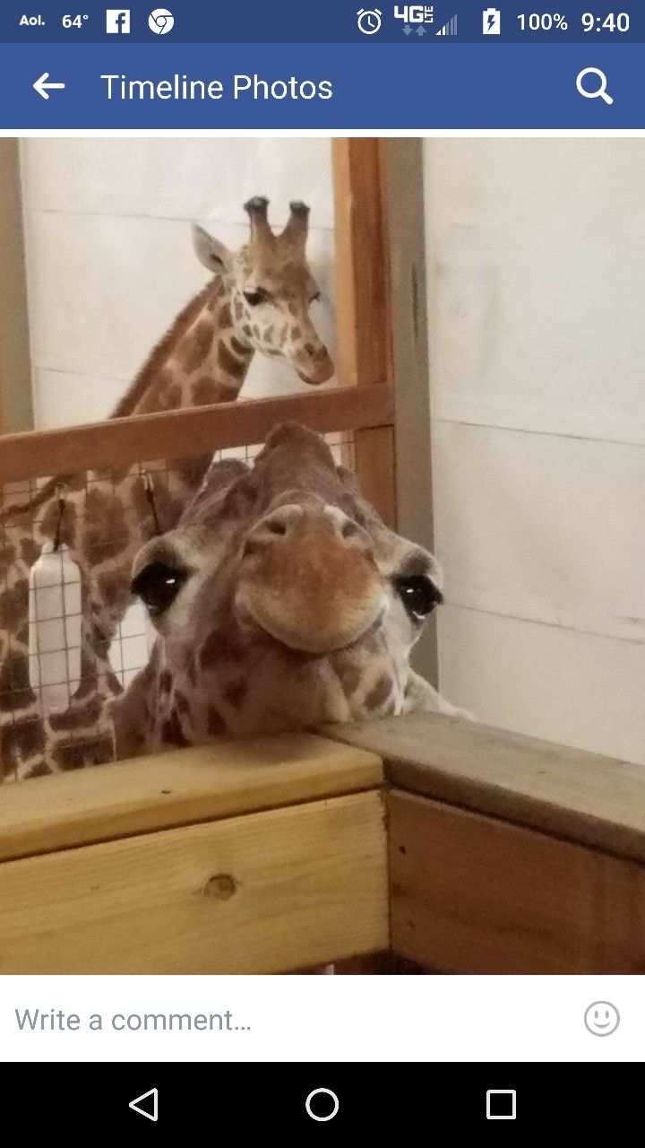 April the Giraffe with Ollie (baby 's Father) in the background. So beautiful.