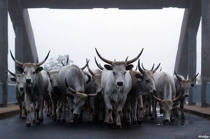 Hungarian Grey cattle - National Geographic Magyarország - magazin & online  National Geographic Magyarország – A nap képe: Török Zoltán/ Át a hídon.  photo by Zoltán Török