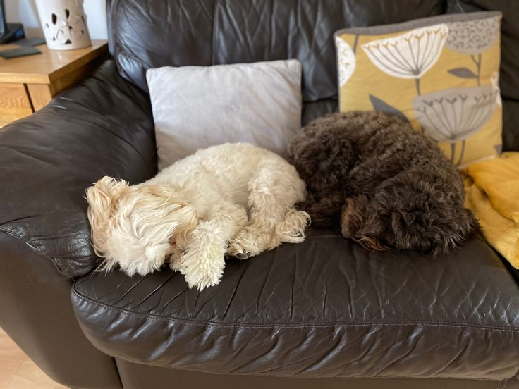 Sleeping doggies🐶 in 2020 Doggy, Cockapoo, Cute