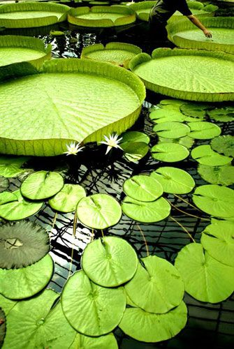 Kew Gardens: 2003: Giant lilies on display