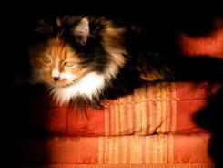 my Turkish cat