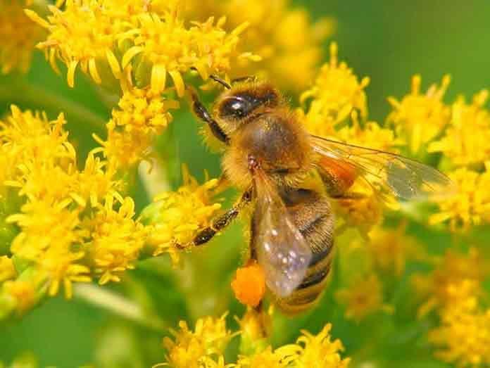 Пыльца пчелиная полезные свойства | Сами Доктора