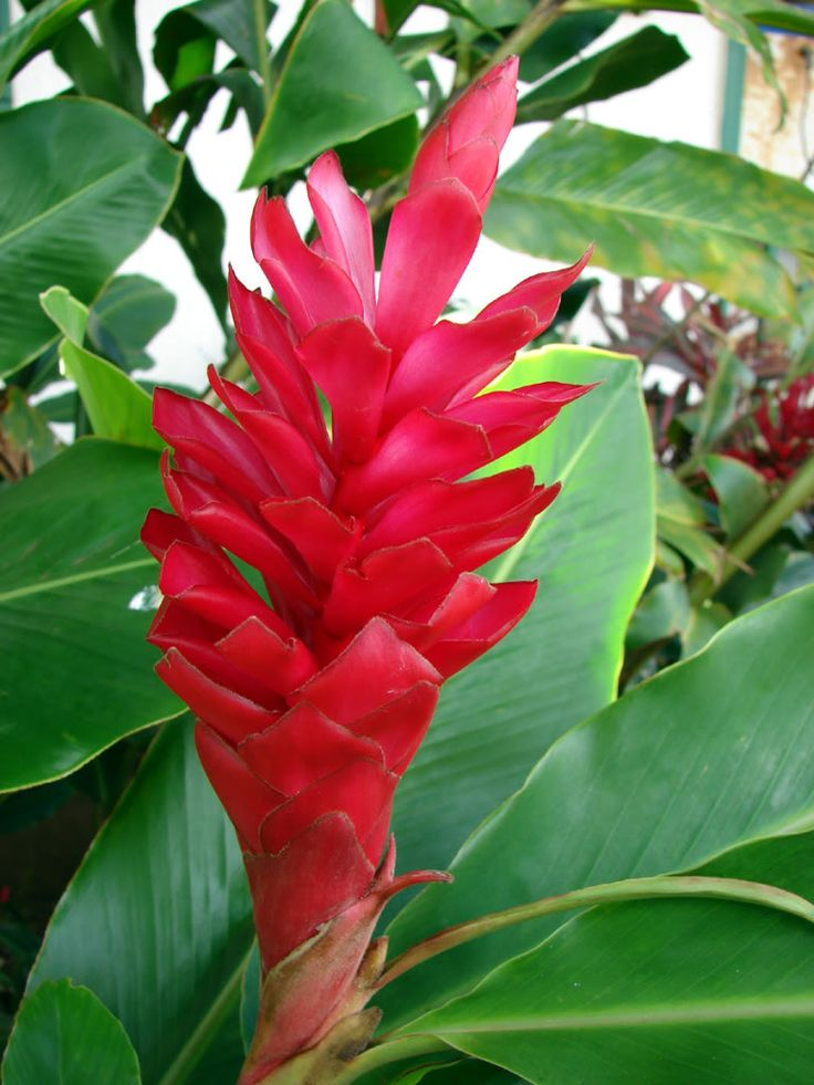 Hawaii Flowers Growing Up To 12 Tall The Ginger Plant