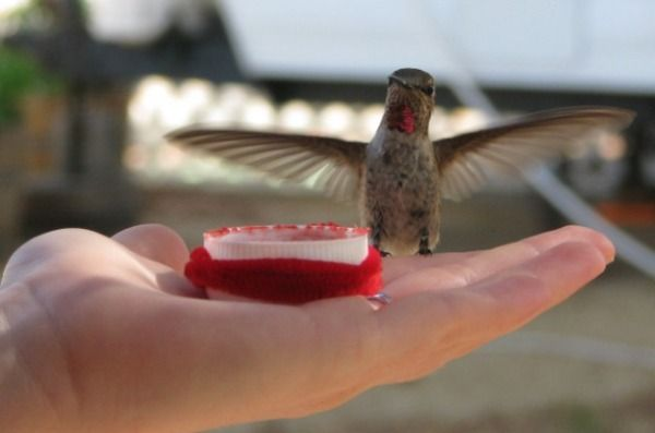 You'll get a real thrill when you learn the five steps to feeding hummingbirds by hand!