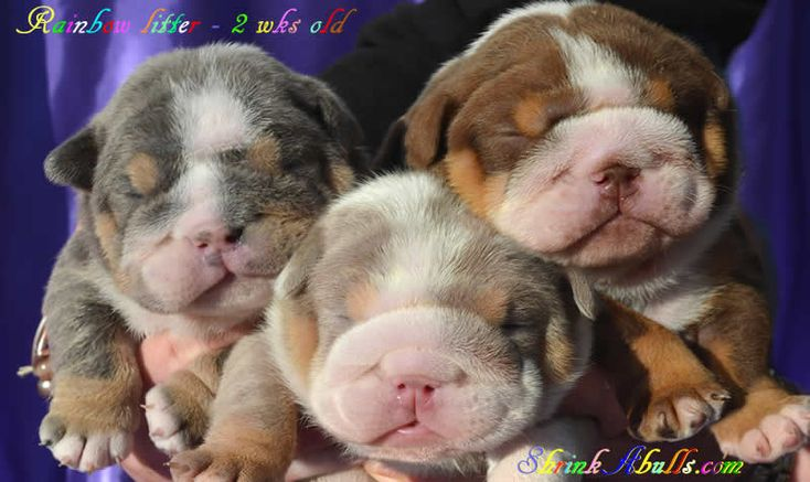 lilac bulldog puppies & chocolate blue tri english bulldog puppies  aren't they just the sweetest?