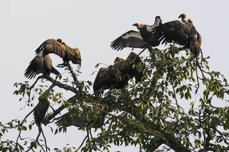 The vulture restaurant  The scavenger birds once adorned roofs and telegraph poles across Nepal, but now are only found in special reserves.