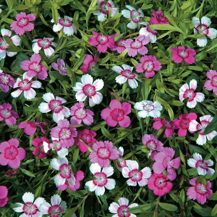 Dianthus Deltoides Micro Chips