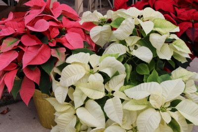 Why are Poinsettias the Christmas flower?  This article explains it all.