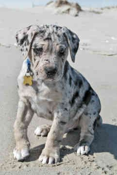 Leapord Catahoula. I may have to beg my husband for one of these someday.