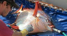 Only Warm-blooded fish | Opah or Moonfish