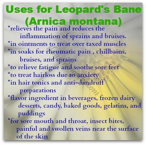 Leopard's Bane (Arnica montana) the Medicinal Garden
