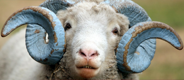 Rameses XVIII looks out of his enclosure at the Hogan farm. Rameses, the latest incarnation of the longtime UNC mascot, is a Dorset Horn sheep, an endangered breed. Photo: Harry Lynch - The News & Observer