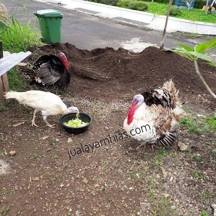 Foto kiriman salah satu pelanggan kami di Jakarta. Walaupun tinggal di perumahan tetap saja bisa ternak ayam kalkun..  Silahkan.. pesan sekarang kami bisa mengirimkan ke seluruh Indonesia via Kargo hewan terpercaya. jualayamhias.com Kantor: Donoharjo Ngaglik Sleman Yogyakarta Kandang utama: Muntilan Magelang TELKOMSEL : 0812 2028 8686 IM3 : 08564-772-3888 (Whatsapp) AXIS : 0838-6918-5523 LINE : 08564-772-3888 LINE ID : jualayamhias.com #ayamhias #ternakunggas #ternakayam #ternakayamhias…