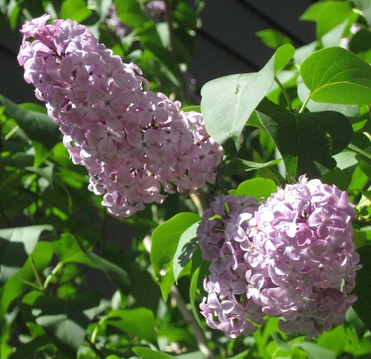 Lilac Hygiene, Colorado