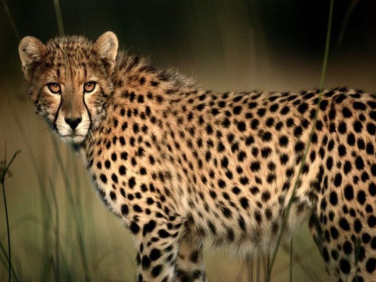 Cheetah (Photograph by Chris Johns)  Sharp eyesight and raw speed make the cheetah a formidable hunter.
