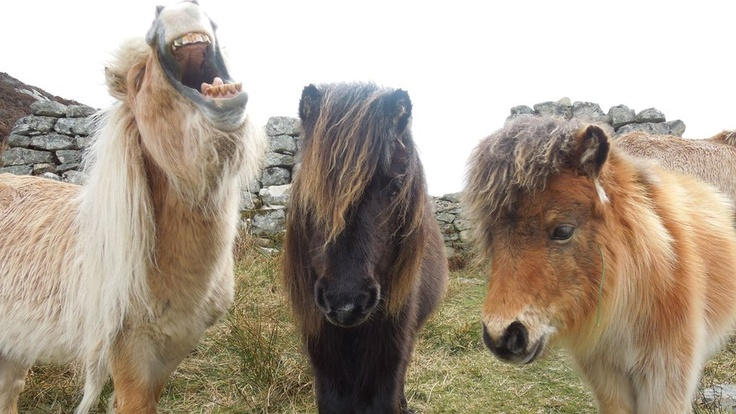 Ponies on Benbecula, Outer Hebrides