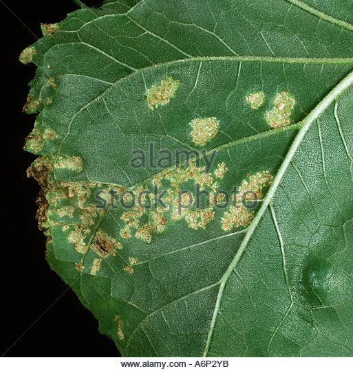 Blister rust Albugo sp blisters on the underside of a sunflower leaf - Stock Image