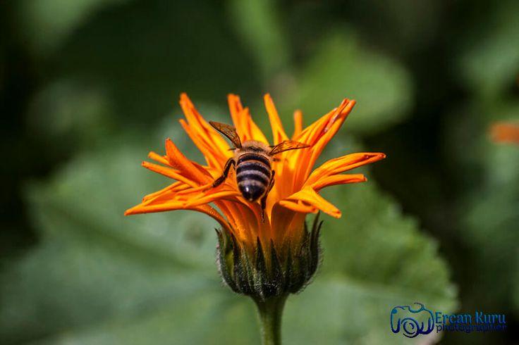 Yaşam mucizesi... http://www.ercankuru.com.tr/project/cicek-bahcesi/   #çiçek  #flower  #çiçekler  #flowers  #çiçekbahçesi  #flowergarden  #çiçekçi  #florist  #makro  #macro  #arı  #bee  #bal  #honey