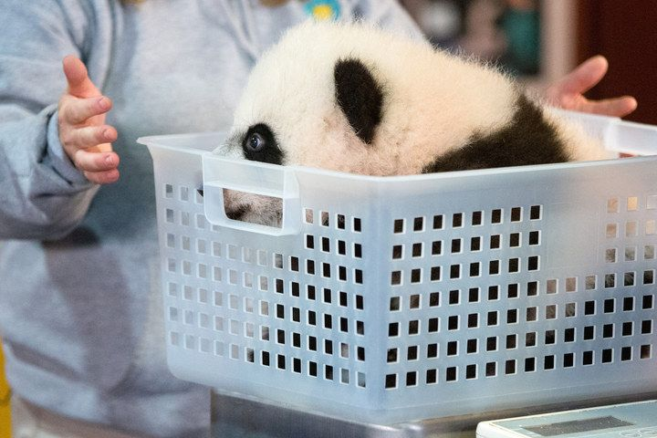 But at nearly 4 months old, Bei Bei now weighs more than 17 pounds. | Bei Bei The Giant Panda Cub Couldn't Be Bothered At His First Press Conference - BuzzFeed News