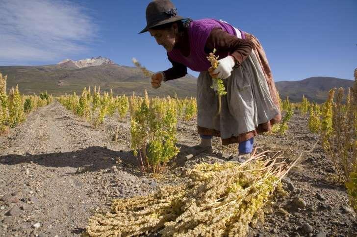 La quinoa se cultiva en Sudamérica