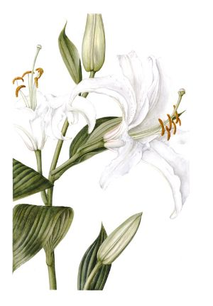 Lily Lilium 'Casa Blanca' - by Sally Pond (so hard to paint white flowers!)