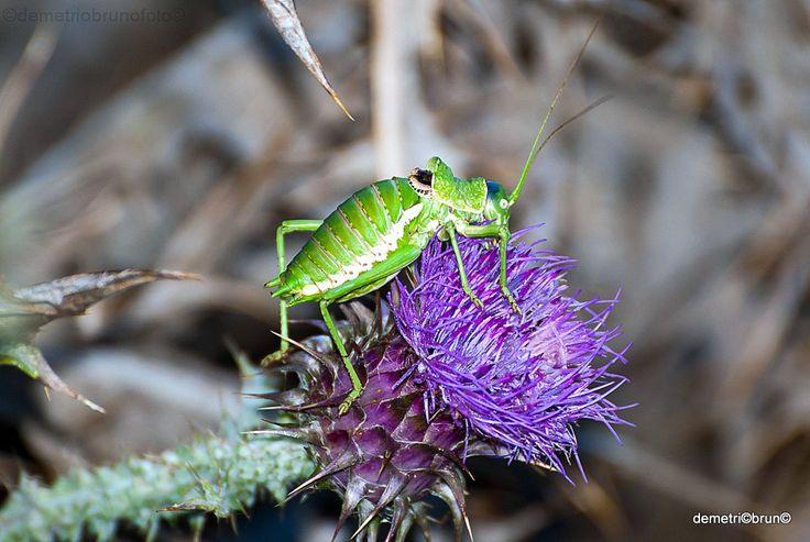 Ephippiger ephippiger Ortottero appartenente alla famiglia Tettigonidae (la stessa delle locuste e delle cavallette).
