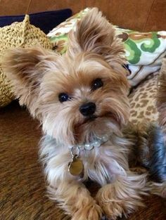 pretty girl yorkie: Yorkies Haircuts, Bella Yorkies, Yorkshire Terrier, Adorable Animals, Breed Yorkies, Pet, Female Yorkie Haircuts, Yorkie Girl Haircuts