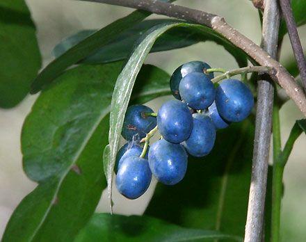 hard quandong, woolah Elaeocarpus obovatus  tree of creek-sides; dense, mid-green foliage; clean grey trunk; small white flowers; small blue fruits