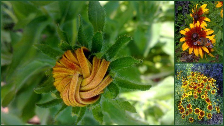 Rudbeckia http://wilczagora.blogspot.com/
