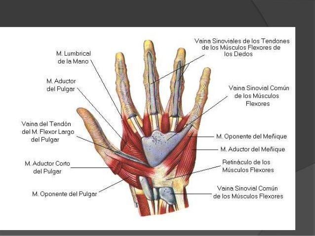 15 best anatomia manos images on Pinterest | Anatomia mano, Cuerpo ...