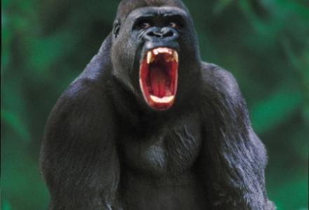 angry gorilla | Cute - Monkeys/Gorillas | Pinterest - photo#17